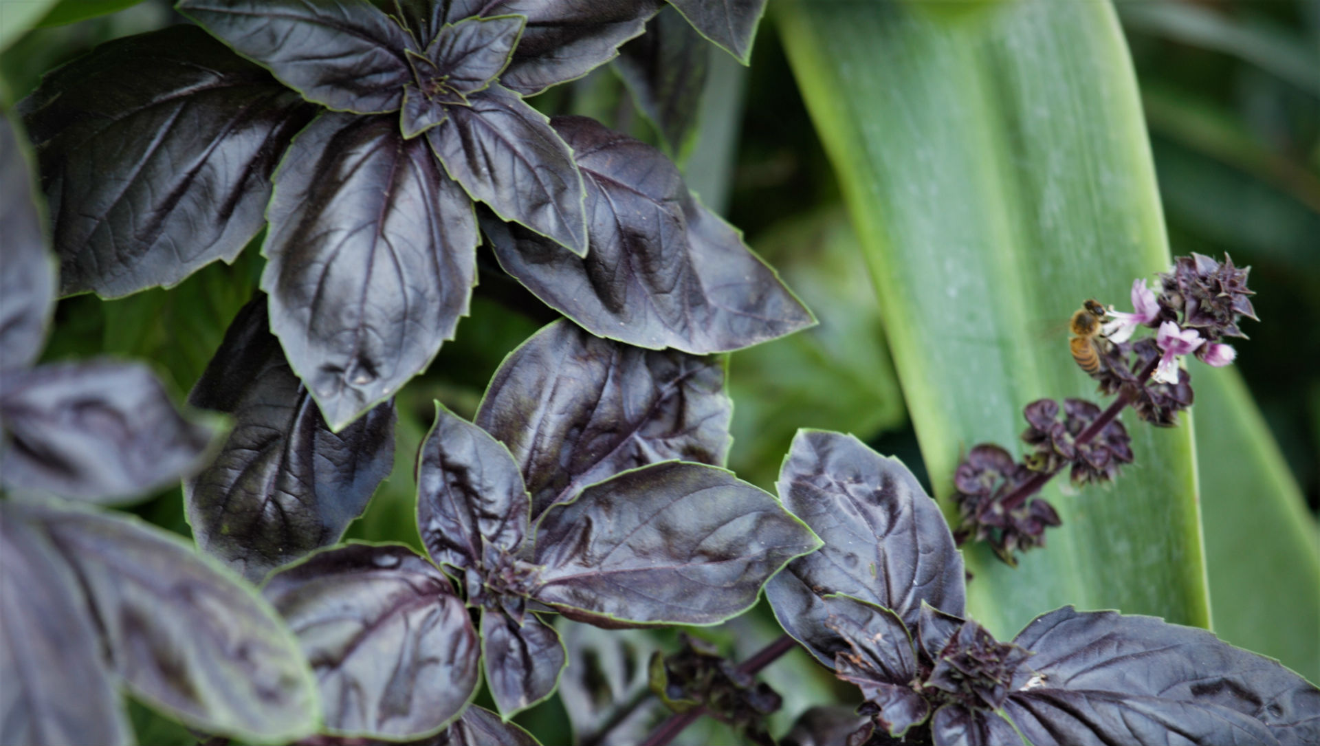 Certain basil specimens displays rich purple coloring