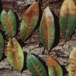 Leaves infected with oak wilt