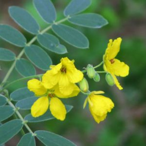 Senna's yellow flowers stand out on Texas roadsides late in summer.