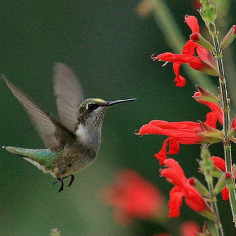 Hummingbird visiting sage flower