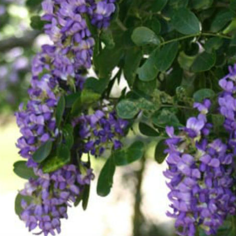 Texas mountain laurel's astonishing grape-scented flowers appear in early March.