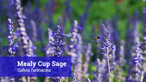 mealy cup sage