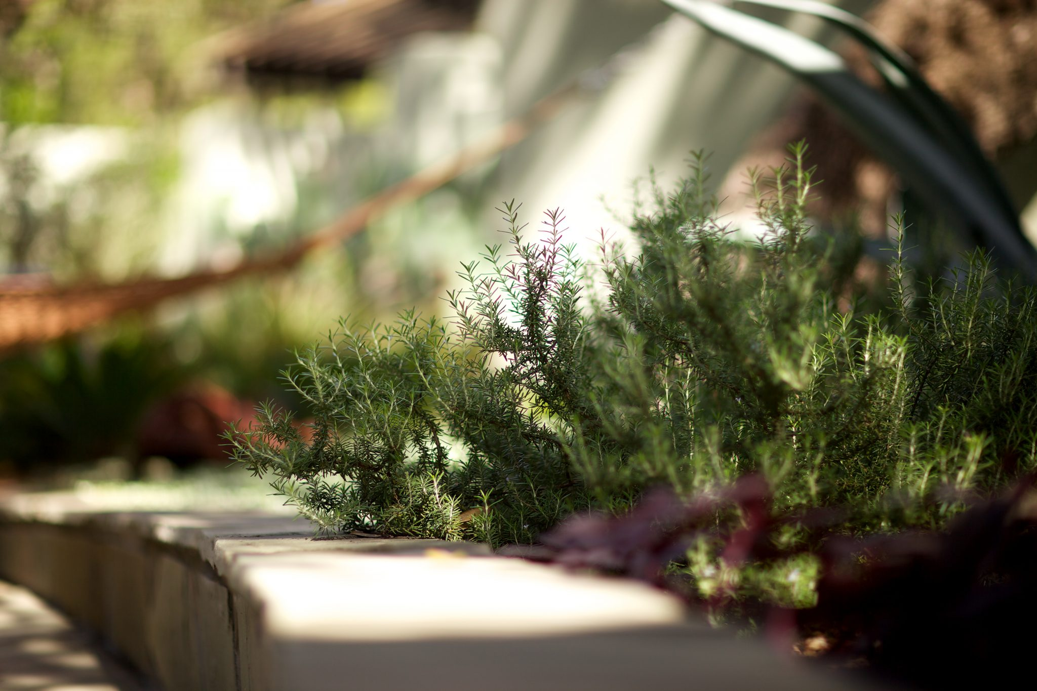 Rosemary recommended for Spanish courtyard designs.