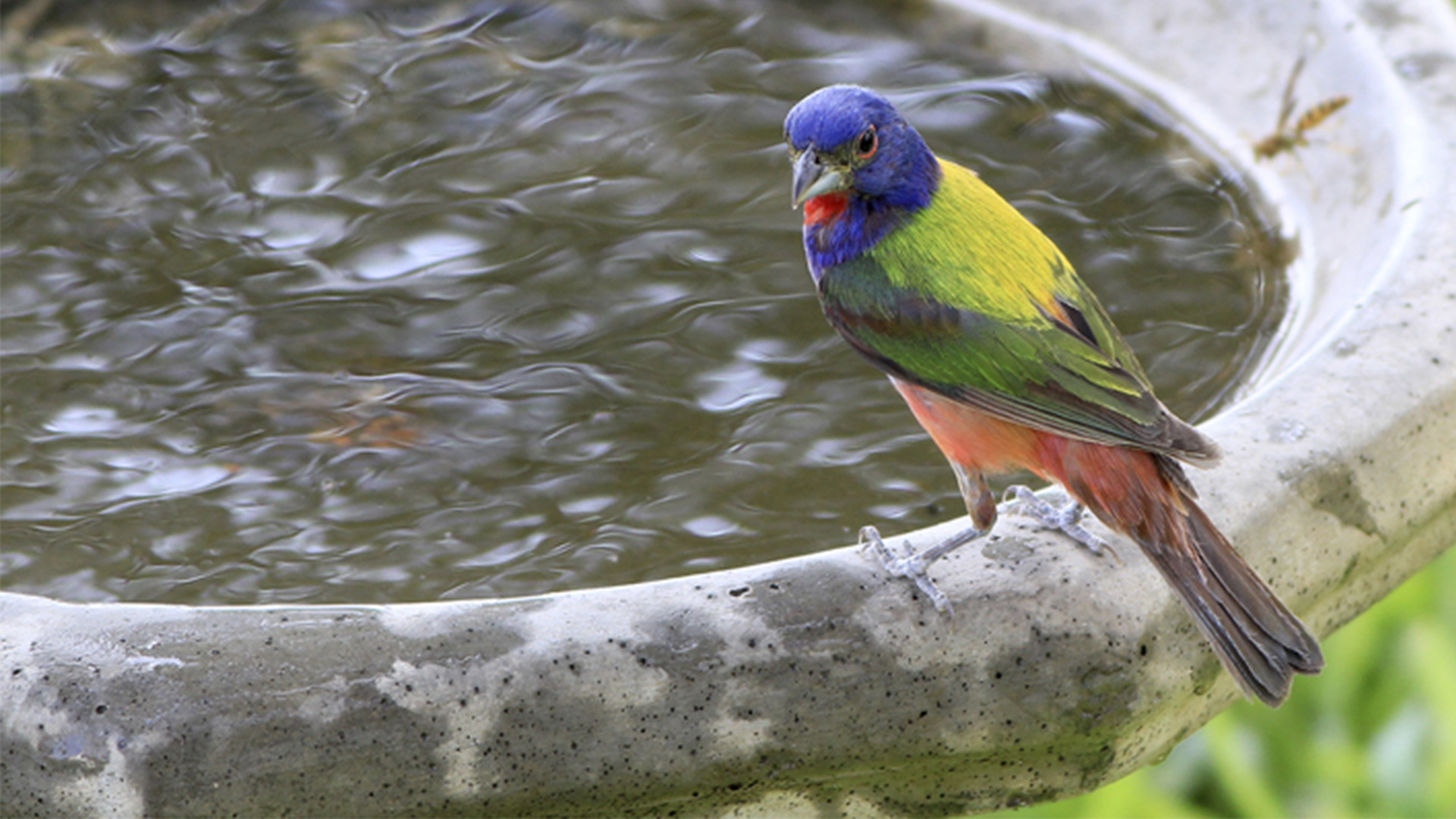Painted bunting at edge of birdbath.