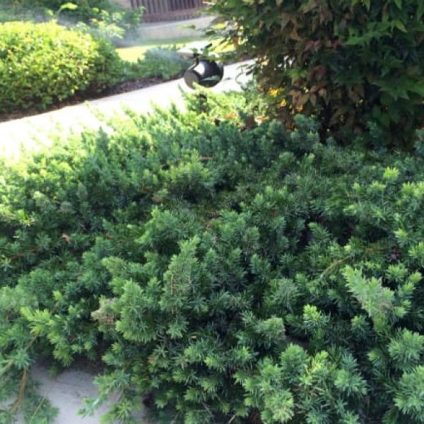 1488551368Juniper-creeping-juniperus-horizontalis-detail-Alamo-Ranch.jpg