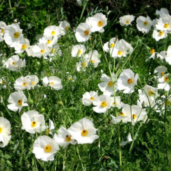 1488560772White-Prickly-Poppies-Argemone-Albiflora-form.jpg