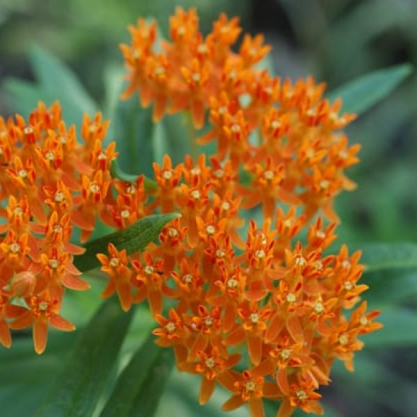 1488562627Butterfly-weed-Asclepias-tuberosa-detail-Austin-NPIN-Ray-Mathews-RCM_IMG0450.jpg