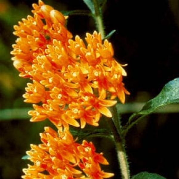 1488562634Butterfly-weed-Asclepias-tuberosa-detail-Texas-NPIN-M-Carlton-PCD1312_IMG0016-290x290.jpg