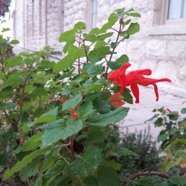 1488821384Sage-Mountain-Salvia-regla-detail-Quadrangle-11-2014.jpg