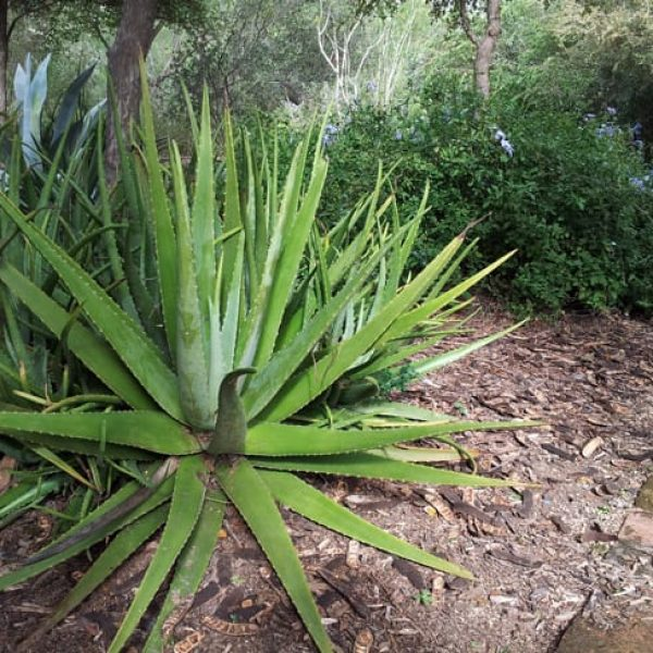 1488839882Aloe-tree-Aloe-arborescens-form.jpg