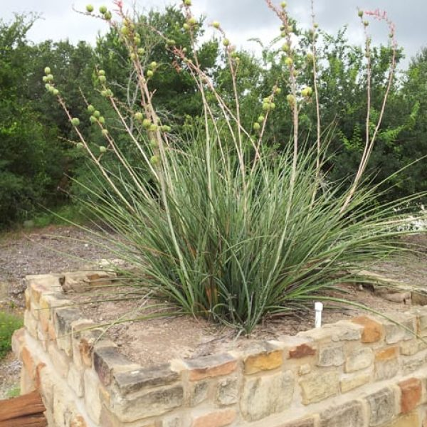 1488906208Red-yucca-Hesperaloe-parvifolia-form-potted-with-seeds-Alamo-Ranch.jpg
