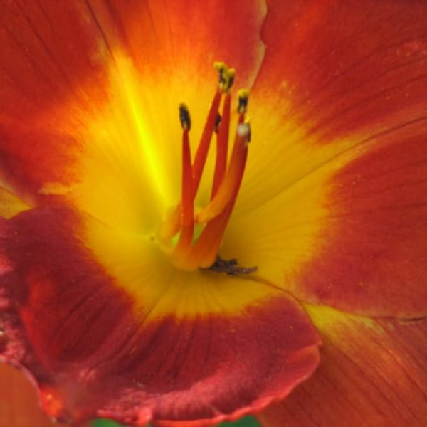 1488913433daylily-hemerocallis-sp-detail.jpg