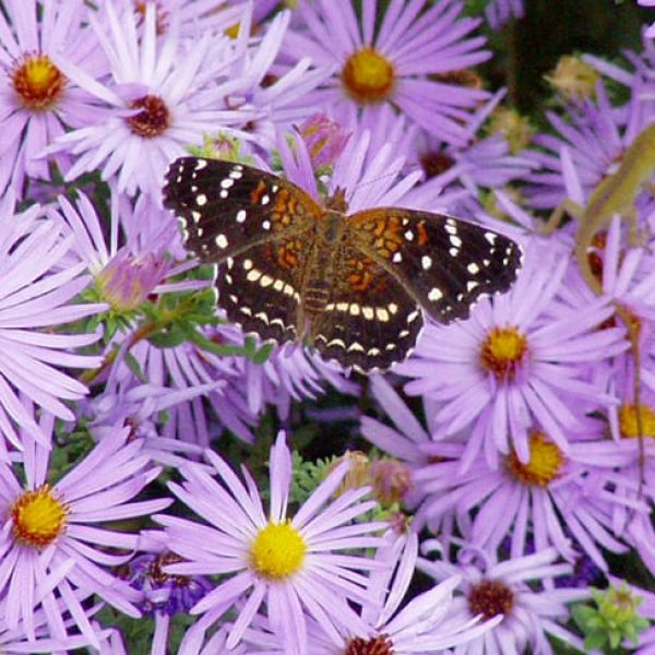 1488975061Fall-Aster-Symphiotrocum-oblongifolium-detail-and-Texan-Crescentspot.jpg