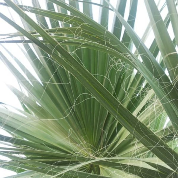 1488979911Palm-Desert-Fan-Washingtonia-filifera-leaf-detail20120920.jpg