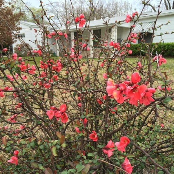 1488980238Flowering-Quince-Chaenomeles-japonica-form4.jpg