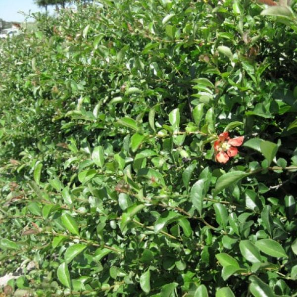 1488980255Flowering-Quince-Chaenomeles-japonica-form2.jpg