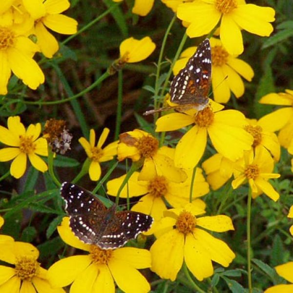 1488998496Copper-Canyon-Daisy-Tagetes-lemmonii-and-Texan-Crescentspots.jpg