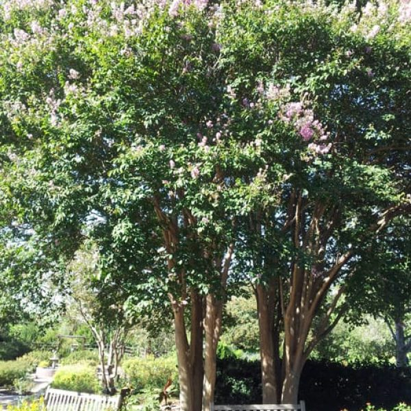 1488999506Crepe-Myrtle-Lagerstroemia-spp.-x-bashams-party-pink-20120910.jpg