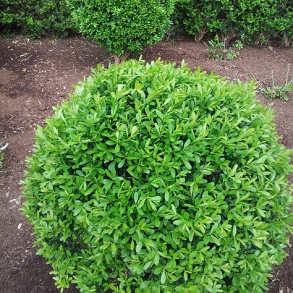 1489075785Boxwood-Japanese-Buxus-microphylla-Winter-Gem-form.jpg