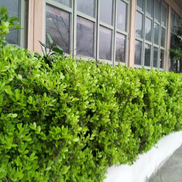 1489075788boxwood-japanese-winter-gem-buxus-microphylla-form-ashby.jpg