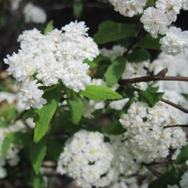 1489075881spiraea-bridal-wreath-spiraea-detail-websized.jpg