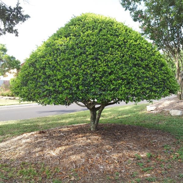 1489418898Holly-yaupon-Ilex-vomitoria-form-stiffly-hedged-Stone-Oak.jpg
