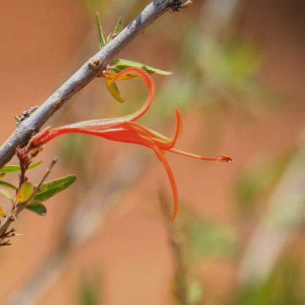 1516808710Flame-acanthus-Anisacanthus-spp-detail-brad-wier.jpg
