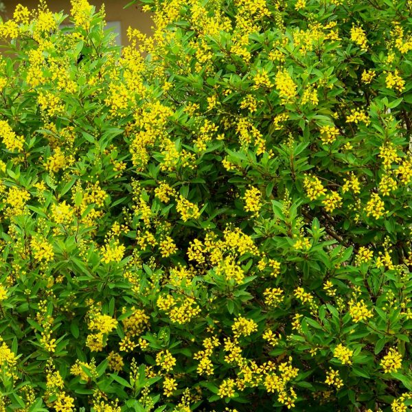 This plant has beautiful yellow flowers.