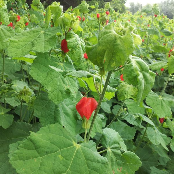Turk's Cap blooms continuously in warm weather