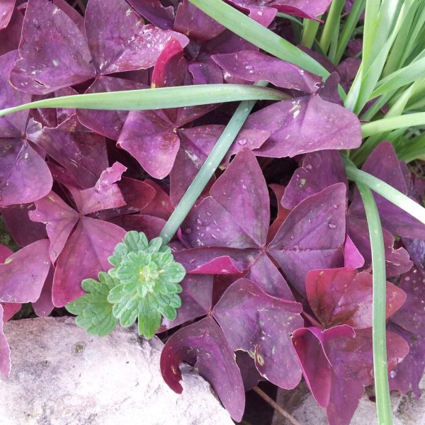 Purple oxalis displays richly colored shamrock-shaped leaves.