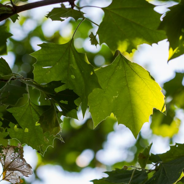 American sycamore leaves.