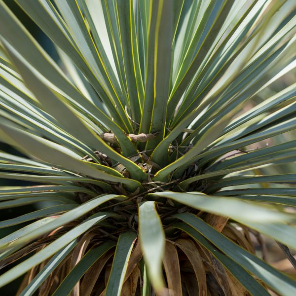 The Mexican grass tree looks like a palm or a yucca, but a closer inspection reveals its leaves are softer.