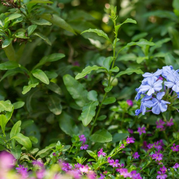 Plumbago leaves and flowers.