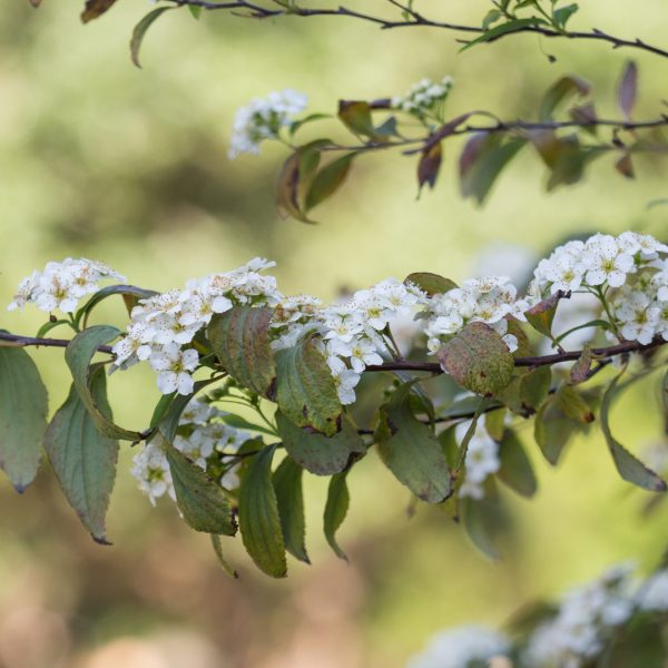 Bridal-wreath spirea leaves and flowers