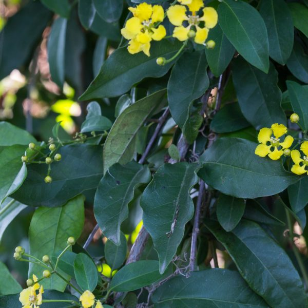 Butterfly vine leaves and flowers