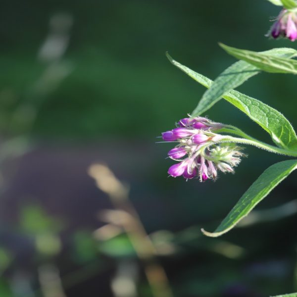 Comfrey leaves and flowers.