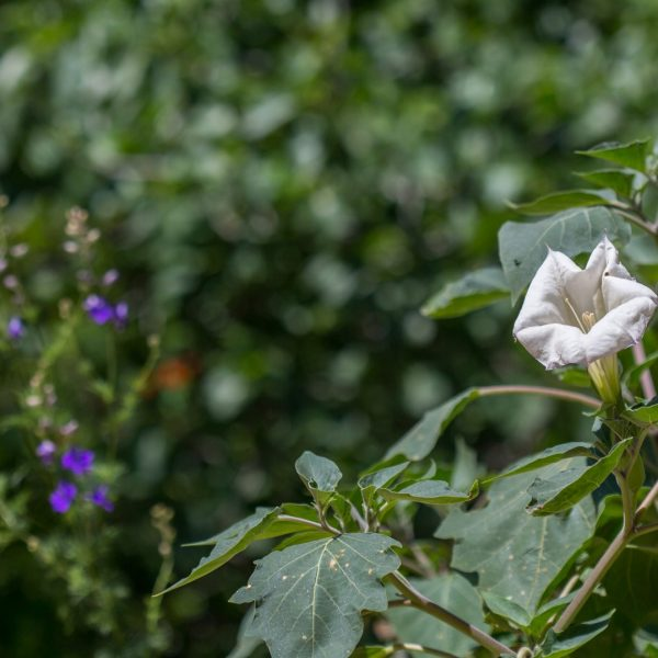 Moonflower with leaves