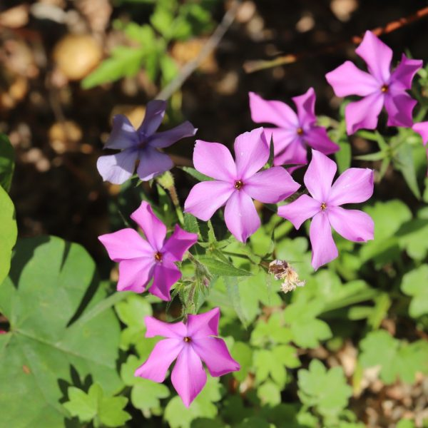Drummond phlox leaves and flowers.