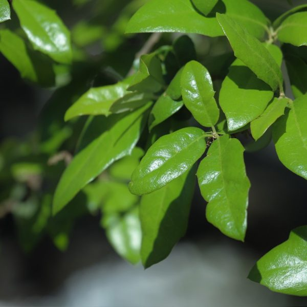 With nearly evergreen leaves and long, rambling branches, escarpment live oak is considered one of the most valuable native trees in south-central Texas.