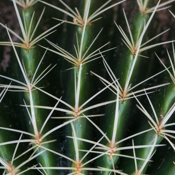 Golden barrell cactus leaves and spines.