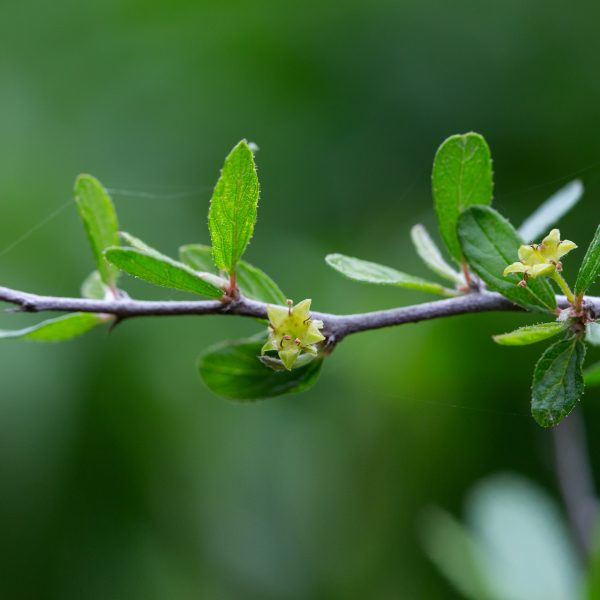 Texas hog plum is known for its tiny dry fruits, but the bright flowers can be so tiny they're rarely noticed.