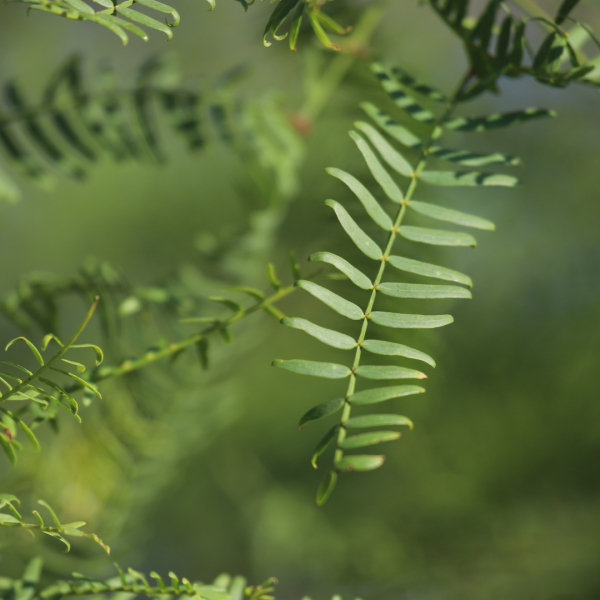 Honey mesquite is a willow-like thorny legume with low-hanging boughs.