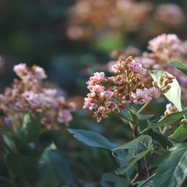 Indian hawthorne is a large evergreen shrub well suited to dappled shade if moisture is sufficient.