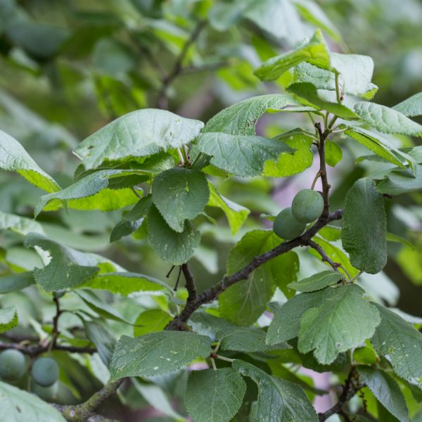 Mexican plum leaves.