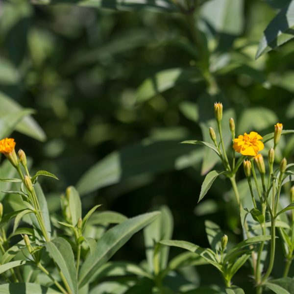 Mexican tarragon leaves and flowers.