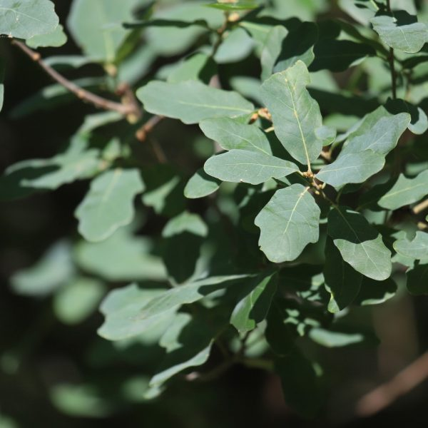Its greenish-blue leaves give the small Lacey oak an impressive cooling effect on warm days.