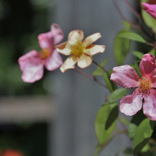 Rose Mutabilis, or Butterfly Rose, is so called because its flowers appear in different shades of yellow and pink.
