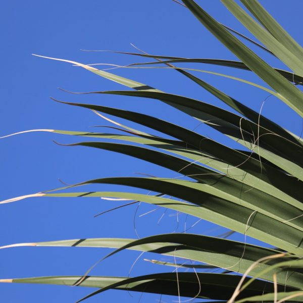 Although native to the Atlantic Coast from Florida north, Sabal Palm is much more commonly seen in Texas than the native Sabal texana, thanks to commercial plantings.