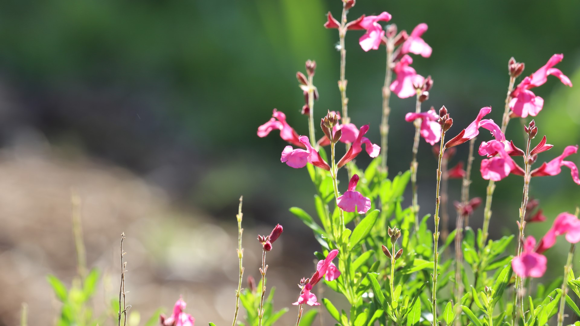 Autumn sage is a workhouse in the watersaver garden, and a Texas native plant to boot.