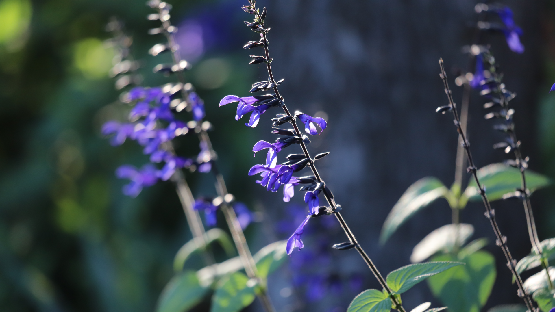 Giant blue sage is a Brazilian salvia that thrives in warm shade.
